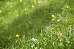 Buttercups on a meadow Royalty Free Stock Images