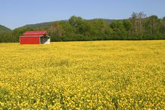 Buttercups & Pole Barn Royalty Free Stock Photography