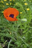 Buttercups and red poppy royalty free stock image
