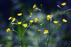 Buttercups Stock Photos