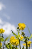 Buttercups on a sunny day. Buttercup meadow on a sunny day Royalty Free Stock Image