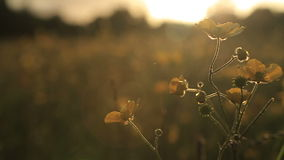 Buttercups swaying in the breeze at sunset stock video footage
