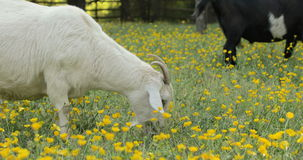 Buttercups Two Goats Grazing in Buttercups Close Up stock footage