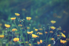 Buttercups Stock Image
