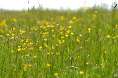 Buttercups Stock Images