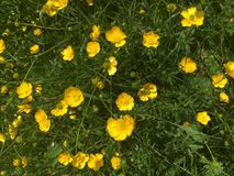 Buttercups Royalty Free Stock Photos