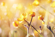 Buttercups yellow wildflowers Royalty Free Stock Images