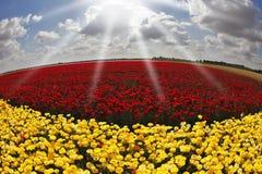 buttercupsdagen blommar den sol- fjädern Royaltyfri Bild