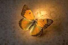 Butterffly Imagem de Stock