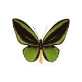 Butterffly ha isolato Fotografia Stock Libera da Diritti