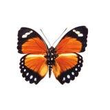 Butterffly ha isolato Fotografia Stock