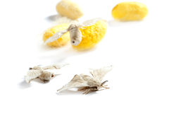 Butterfiles of silk worm and cocoon yellow royalty free stock image