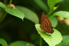 Butterfily Fotos de archivo libres de regalías