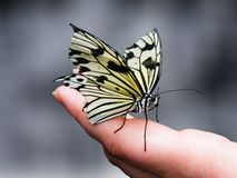 Butterfingers. Black and yellow Butterfly on a finger Royalty Free Stock Images