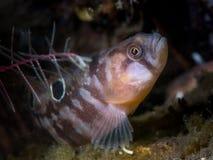 Butterfish - Loch Fyne, Szkocja Obrazy Royalty Free