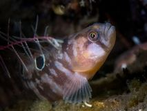 Butterfish - Loch Fyne, Scotland. Butterfish Pholis gunnellus snapped while diving in Loch Fyne, Scotland. United Kingdom Royalty Free Stock Images