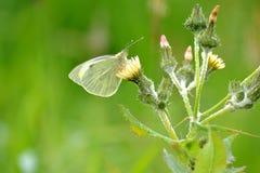 Butterflay Arkivfoto