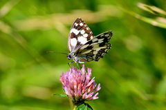 Butterflay Arkivfoton