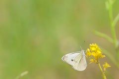 Butterflay e fiori Fotografia Stock Libera da Diritti