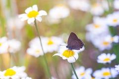 Butterflay e fiori Fotografia Stock