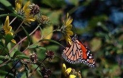 Butterfli es som parar Royaltyfria Bilder