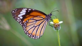 Butterfli es som parar Royaltyfri Fotografi