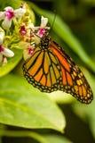 Butterfli es som parar arkivbilder