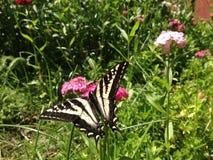 Butterfli es som parar arkivfoton