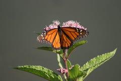 Butterfli es som parar fotografering för bildbyråer