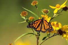 Butterfli es som parar Royaltyfri Bild