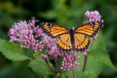 Butterfli es som parar Arkivfoto