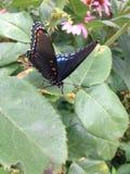 Butterfli S, het in paren rangschikken Royalty-vrije Stock Afbeelding