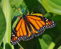 Butterfli S, het in paren rangschikken Stock Afbeelding