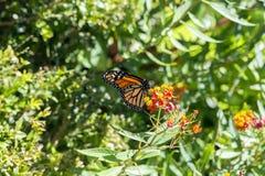 Butterfli S, het in paren rangschikken Stock Fotografie