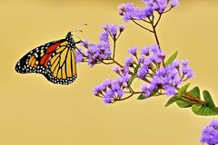 Butterfli S, het in paren rangschikken Stock Foto's