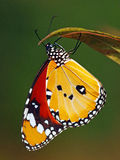 butterflie chrysippus丹尼亚斯 免版税库存图片