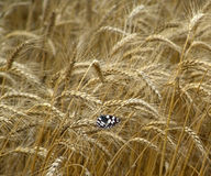 Butterflie on the field of wheat.  royalty free stock photography