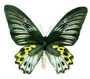 butterflie hypolitus trodes 库存照片