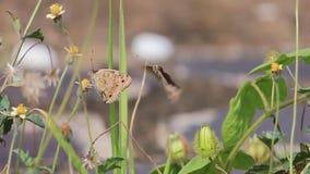 Butterfliegennektar-Blumenjagd stock footage