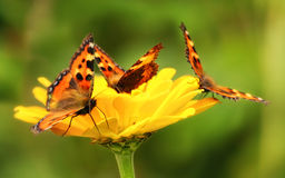Free Butterflies Stock Images - 13298474