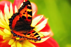 Free Butterflies Royalty Free Stock Photography - 13298497