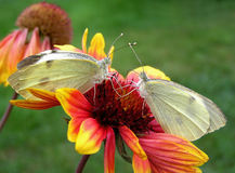 Butterflies. Two white butterflies on a flower Stock Photo