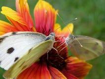 Butterflies. Two white butterflies on a flower stock image