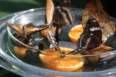 Butterflies. On oranges in Butterfly House  at Mainau island, Germany Stock Image