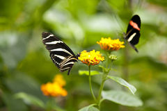 Butterflies. A beautiful butterflies on the Bodensee island Mainau, Germany Royalty Free Stock Photography