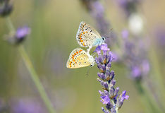 Butterflies. Two butterflies on a lavender field Royalty Free Stock Images