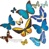 Butterflies. Ornithoptera, papilio, cymothore and morpho butterflies royalty free stock image