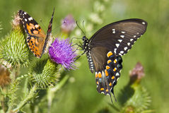 Butterflies. Two different species of butterfly captured on a thistle royalty free stock images