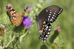 Butterflies. Two different species of butterfly captured on a thistle royalty free stock photos