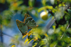 Butterflies. A couple of butterflies on a branch Royalty Free Stock Image